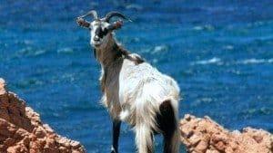 Wild goat, Tavolara island, Loiri Porto San Paolo, Sardinia, Italy
