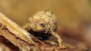 Smallest Reptile discovered in Madagascar